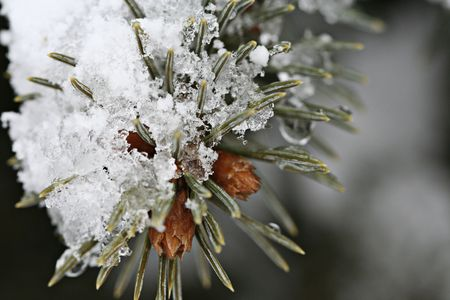A close-up photo of Melting Snow on a pine tree Stock Photo