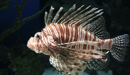 An Exotic Lion Fish in an aquarium Stock Photo - 2614885