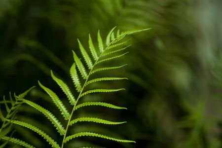 herbology: A up-close photo of a single branch of a fern plant. This is a good nature background photo with a shallow depth of field