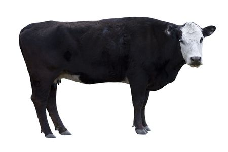 out of production: A black cow with a white face isolated on a white background.