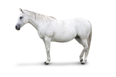 dapple horse: Side view of White Horse Isolated with clipping path