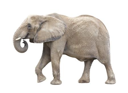 elephants: Recorte del elefante africano Foto de archivo