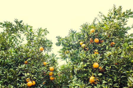 Grove of orange trees. Fresh, ripe, golden oranges still growing on trees. Healthy citrus ready to eat