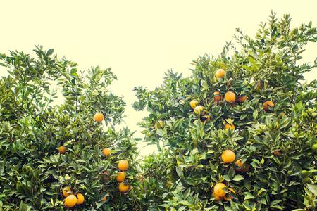 Grove van sinaasappelbomen. Verse, rijpe, gouden sinaasappels groeien nog steeds aan bomen. Gezonde citrus klaar om te eten