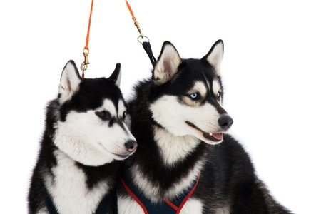 Two husky dogs with blue and brown eyes isolated on white photo