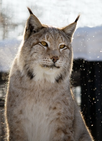 Cute lynx with yellow eyes