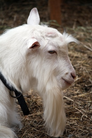 long beard: Long beard white goat profile Stock Photo
