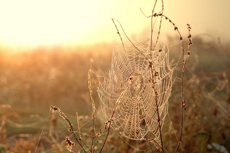 wakening: Spiderweb with dew drops at foggy autumn sunrise