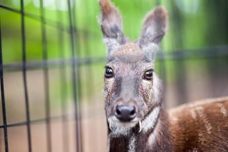 poaching: Siberian musk deer in a zoo looking to camera