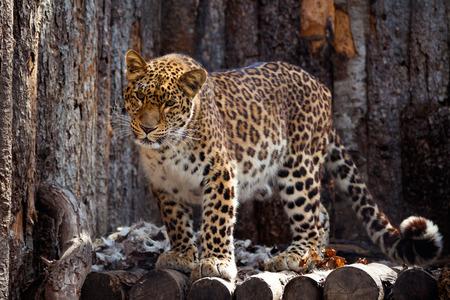 Amur leopard in a zoo in Khabarovsk Stock Photo