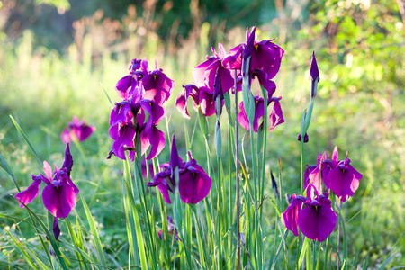 Purple iris flowers in the morning light