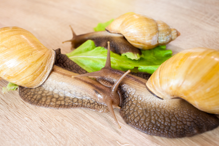 clam gardens: Three giant african snail Achatina in the kitchen