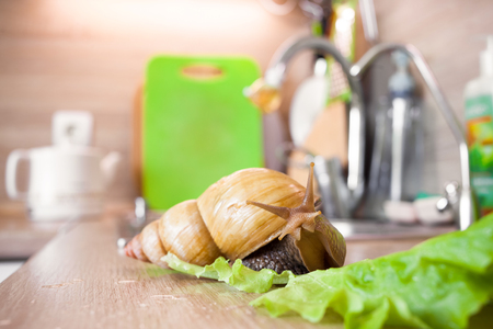 clam gardens: Giant african snail Achatina in the kitchen Stock Photo
