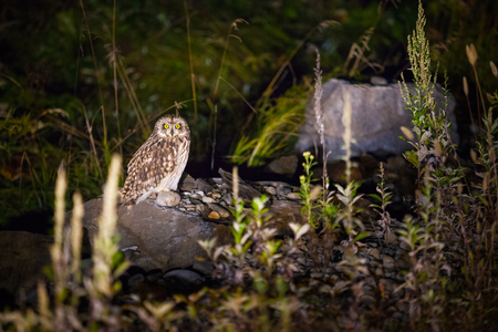 Short-eared owl in the night Standard-Bild - 110545522