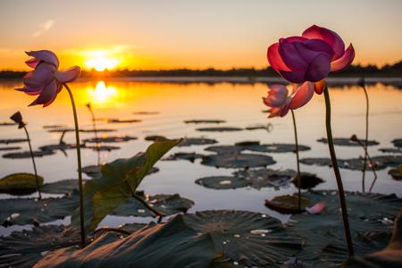 Lotus flowers blooming at sunset Standard-Bild - 121097877