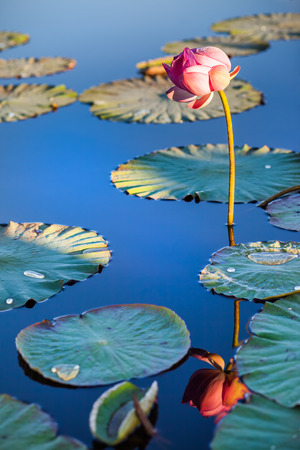 Lotus flower above the blue water of a lake Standard-Bild - 121097878