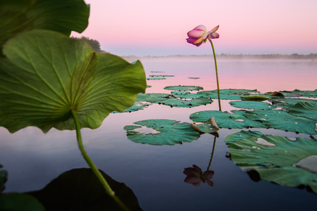 Pink lotus flower on a lake in sunset