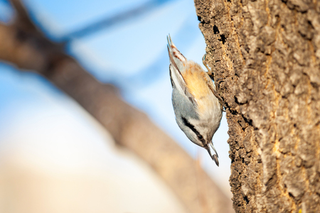 Nuthatch on a tree upside down