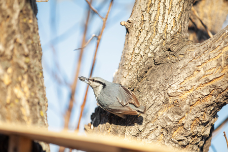 Nuthatch at wooden bird feeder with sunflower seed in its beak