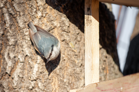 Nuthatch at ash tree near birds feeder looking to camera