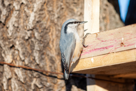 Nuthatch at birds feeder in winter