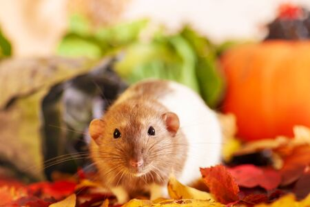 Rat sitting on colorful autumn leaves Фото со стока