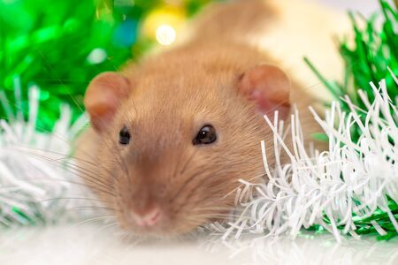 Rat closeup sitting at green christmas decorations Archivio Fotografico