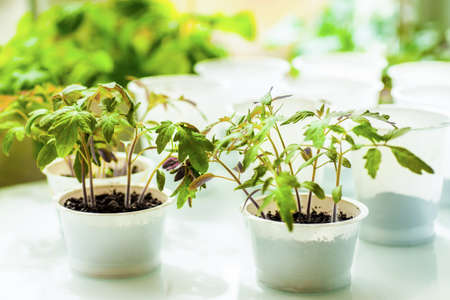 Tomato seedlings grown in pots before planting to garden Stok Fotoğraf