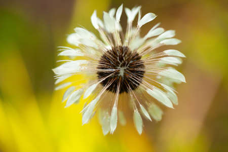 Wet blowball dandelion flower in the evening during the rain Banque d'images