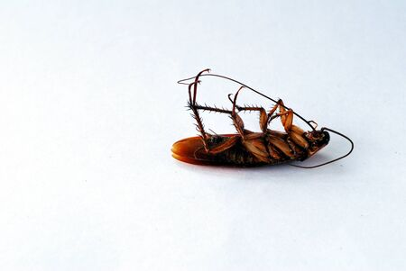dead brown cockroach isolate on white background