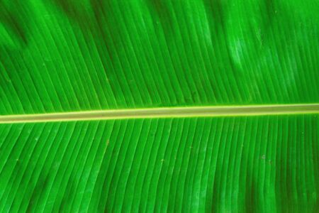Banana leaves that are lush and have beautiful patterns. 免版税图像