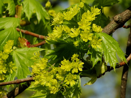 aceraceae: Springtime. Maple. Closeup of the inflorescence of a flowering maple.