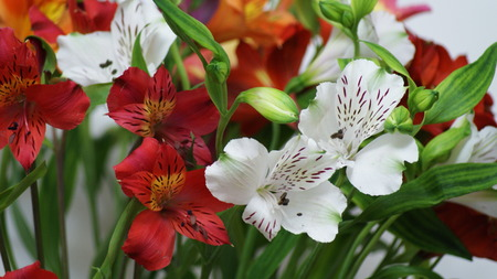 Alstroemeria - lily of the Incas. Closeup of flowers and buds of Alstroemeria on a white background. Stock Photo