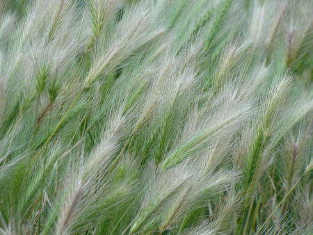 subtlety: Summer in thin lines. The thin hairs of spikelets of grass closeup on the platinum background color turning to light green.