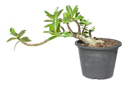 obesum: Desert rose Adenium obesum in a flower pot isolated on white