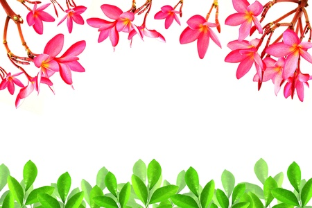 Frangipani flower and leaf pattern on a white background Stock Photo