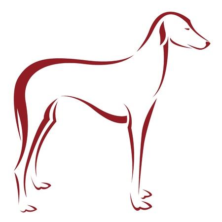 borzoi: an dog  on white background