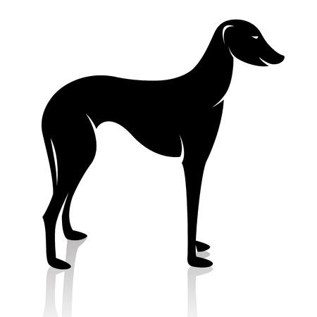 borzoi: dog (azawakh) on white background