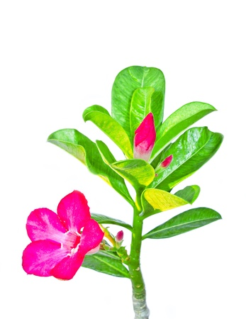 isolated adenium flower on white background photo
