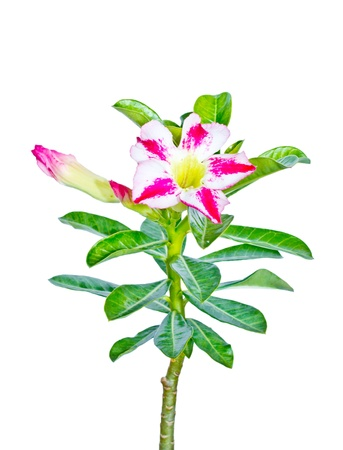 isolated adenium flower on white background photo