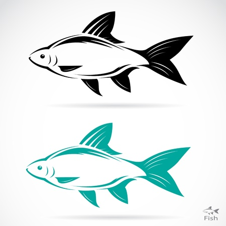common carp: Vector image of an fish on white background