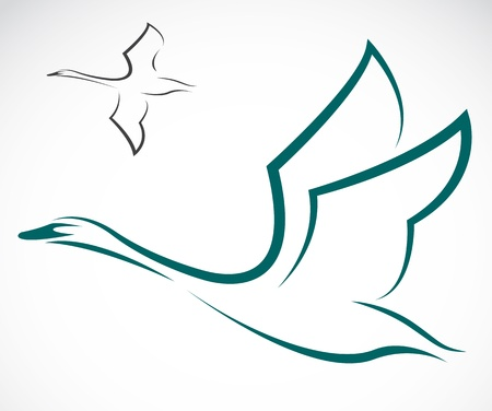 swimming bird: image of swans on a white background.