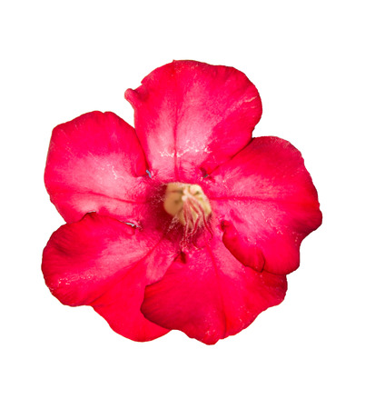 Single azalea flowers isolated on white background photo