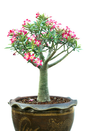 Azalea trees in pots isolated on white background photo