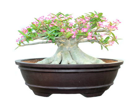 Azalea trees in pots isolated on white background photo