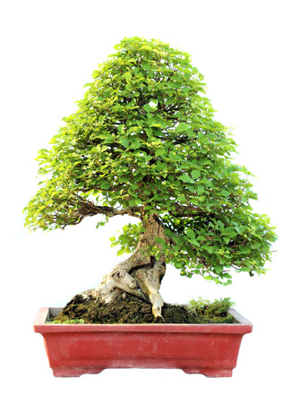 The azalea bonsai tree in a pot isolated on white background. photo