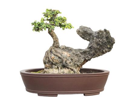 The azalea bonsai tree in a pot isolated on white background. photo