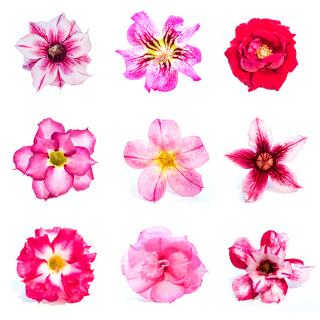 Set of azalea flowers on white background photo