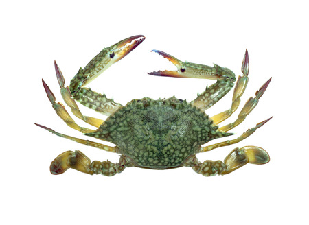 cancer crab: Blue swimmer crab isolated on white background