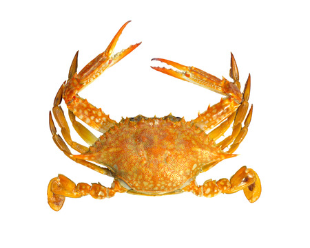 blue swimmer crab: Steamed blue swimmer crab on white background,